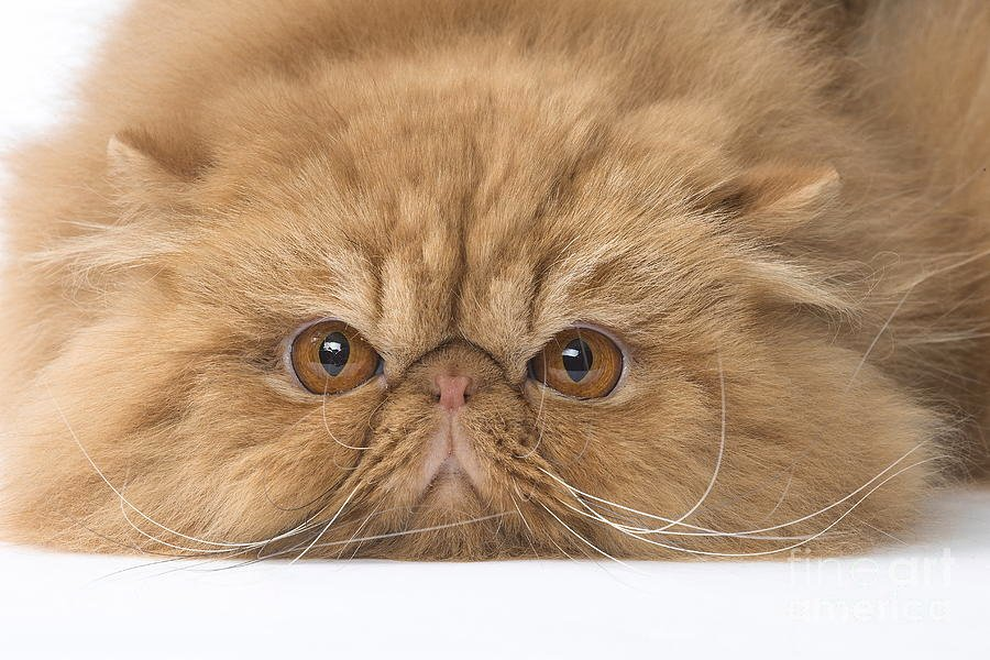 persian-cat-close-up-of-face-and-eyes-and-grumpy-expression-mary-evans-picture-library.jpg